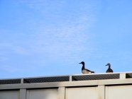 Ducks On Trains